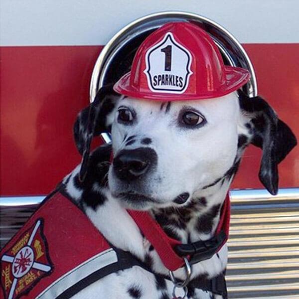 Dalmatien pompier en service