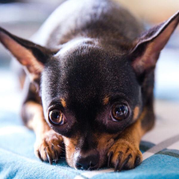 Un pequeño Chihuahua