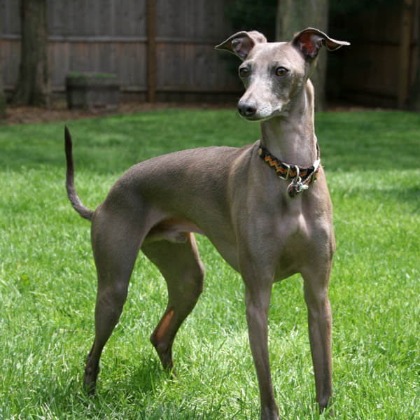 Greyhound dogs are good players companions