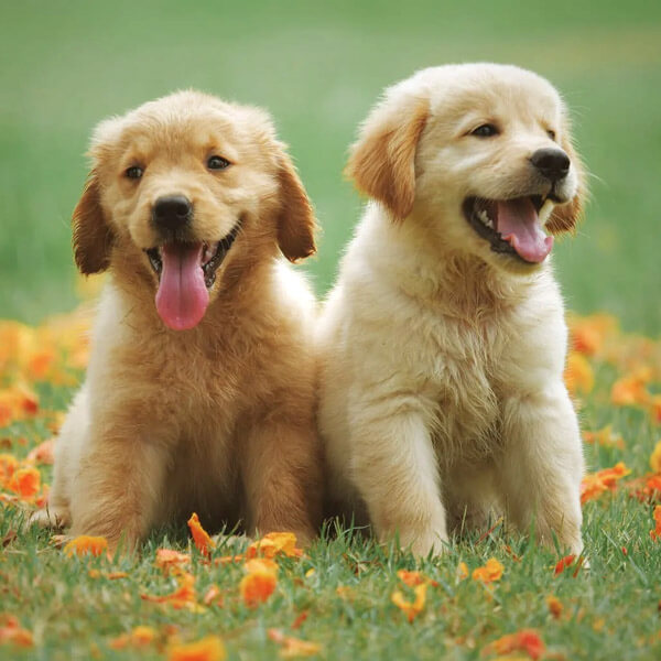 Happy golden retriever puppies